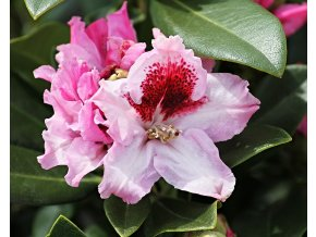 Rododendron ´Królowa Jadwiga/Royal Butterfly´