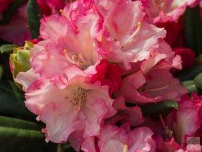Rhododendron Loreley