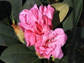 Rododendron ´Lumina´