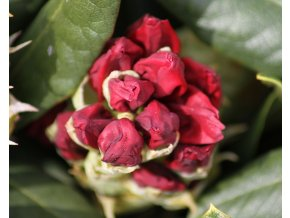 Rododendron ´Mars´