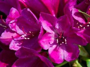 Rododendron ´Polarnacht´