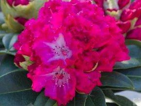 Rhododendron Profesor Horst Robenek (2)