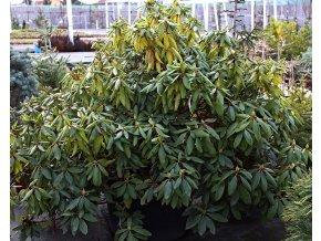 Rododendron ´Roseum Elegans´