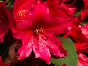 Rododendron ´Taragona´