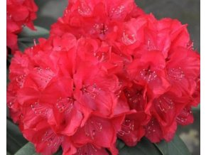 Rododendron ´Wladyslaw Jagiello/Royal Red´