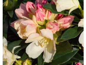 Rhododendron Golden Torch
