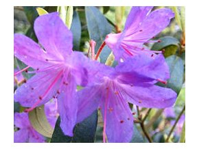 Rododendron obtížený ´Amethyst´
