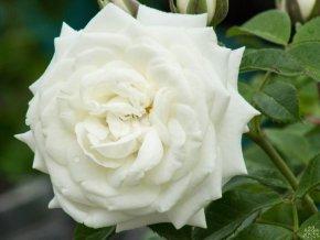 Růže ´Alabaster®´