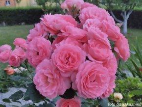 Růže ´Amelia Renaissance®´