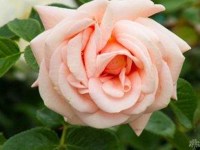Růže ´Aphrodite®´