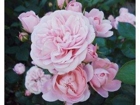 Růže ´Bailando®´