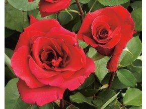 Růže ´Erotika®´