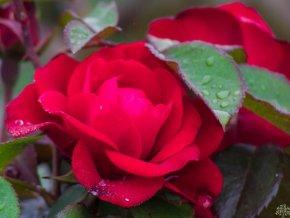 Růže ´Europeana´