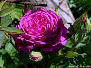 Růže ´Heidi Klum Rose®´