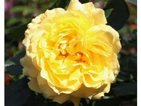 Růže ´China Girl´