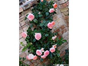 Růže ´Chippendale®´