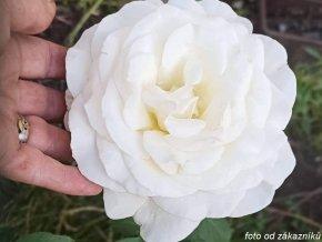 Růže ´Irina´