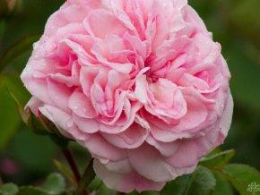 Růže ´Mariatheresia®´
