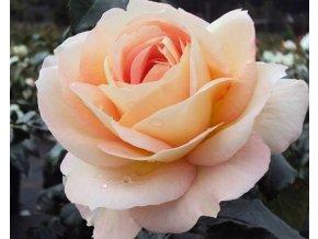 Růže ´Marie Antoinette®´