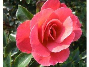 Růže ´Melusina®´