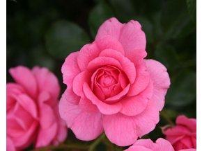 Růže ´Mirato® ´