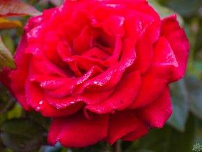 Růže ´P.G. Wodehouse Paramount®´