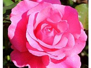 Růže ´Romanze®´