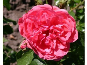 Stromková růže ´Rosarium Uetersen®´