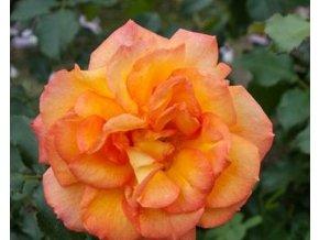 Růže ´Sahara®´