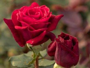 Stromková růže ´Mildred´