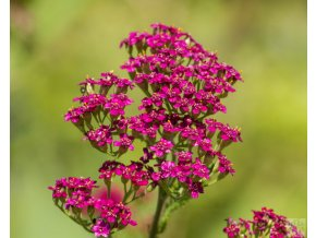 achillea ceris queen