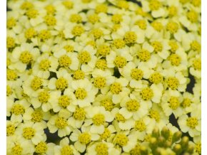 achillea sunny seduction (2)