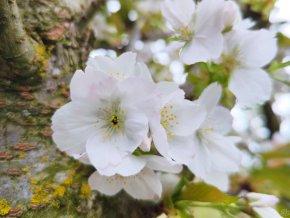 Sakura ozdobná ´Taihaku´