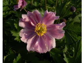 Sasanka ´September Glanz´ - Anemone tomentosa 'September Glanz'