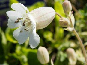 Silenka dvoubarevná ´Druett´s Variegated´ - Silene uniflora 'Druett's Variegated'