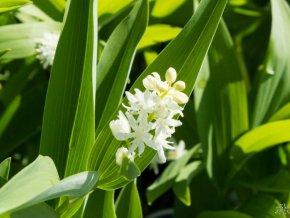 Smilacina hroznovitá - Smilacina racemosa