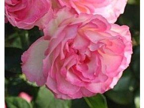 Stromková růže ´Bordüre Rose´