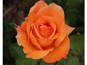 Stromková růže ´Doris Tysterman´