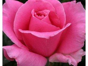 Stromková růže ´Eiffel Tower´