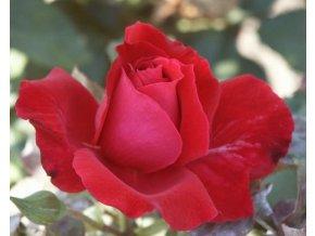 Stromková růže ´Chrysel Imperial´