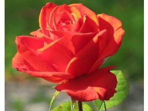 Stromková růže ´Lidka´