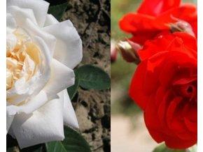 Stromková růže ´Satchmo+White Crystal´