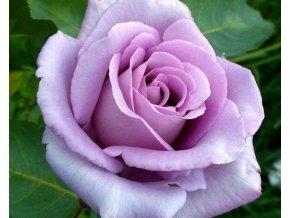 Stromková růže ´Sissi´