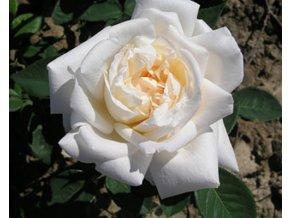 Stromková růže ´White Crystal´
