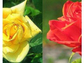 Stromková růže ´Landora a Lidka´