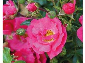 Stromková růže převislá ´Meintraum´