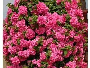 Plnokvětá převislá petúnie - růžová 3ks