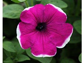 Petunia 'Lilac Picotee'