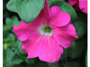 Petunia Bonnie 'Dark Pink'´