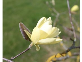 Magnolie ´Gold Star´